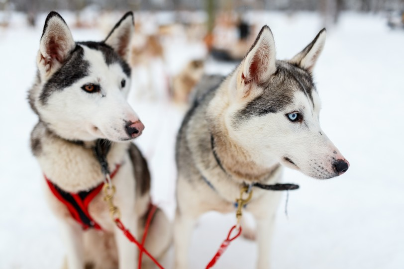 Sledding with husky dogs in Lapland Finland shutterstock_762883747.JPG