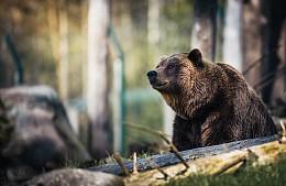 На туроператора завели уголовное дело после нападения медведя на туриста